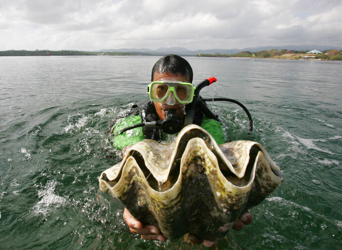 FILE - In this Feb. 24, 2007, file photo, a diver holds a giant clam at the launching of a program for the preservation and propagation of the endangered species in the waters of Puerto Princesa City, Palawan province, southwestern Philippines. A South Korean actress has been charged in Thailand with catching endangered giant clams while participating in a reality TV show. (AP Photo/Bullit Marquez, File)