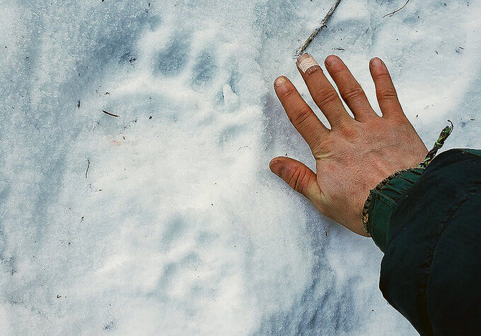 This Feb. 13, 2021 photo provided by Erik Stevens shows a bear track in the Alaska in the backcountry near where resident Shannon Stevens was bit by a bear in an outhouse. Stevens was using an outhouse in the backcountry and she was attacked by a bear, from below.(Erik Stevens via AP)