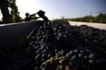 A worker places petit verdot grapes in van during the grape harvest in the vineyard of Casale del Giglio, in Latina, near Rome, Wednesday, Sept. 16, 2020.  Change can come slowly to Italy's centuries-old wine industry, but in a matter of months the global pandemic radically altered the path from vine to table, beginning with the fall harvest. (AP Photo/Alessandra Tarantino)