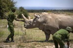 A ranger reaches out towards female northern white rhino Najin, 30, one of the last two northern white rhinos on the planet, in her enclosure at Ol Pejeta Conservancy, Kenya Friday, Aug. 23, 2019. Wildlife experts and vets say there is hope for the northern white rhino which is on the verge of extinction, after they successfully managed to draw eggs Thursday from the last two of the species, hoping they can be used to reproduce the species through a surrogate. (AP Photo/Ben Curtis)