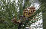 In this Thursday, Oct. 24, 2019, photo a partially open ponderosa pine cone sits in tree at Bandelier National Monument near Los Alamos, N.M. A cone collecting effort is underway in parts of New Mexico and Colorado as conservationists and land managers work to gather seeds to restore forested landscapes following wildfire. (AP Photo/Susan Montoya Bryan)
