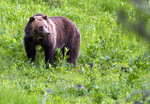 FILE - In this July 6, 2011, file photo, a grizzly bear roams near Beaver Lake in Yellowstone National Park, Wyo. The Idaho Fish and Game Commission meets Thursday, March 22, 2018,  to consider starting the process of approving a grizzly bear hunting season this fall that would allow the killing of one male grizzly. (AP Photo/Jim Urquhart, File)