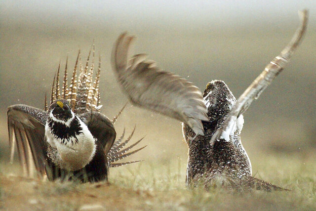 FILE - In this May 9, 2008, file photo, male sage grouses fight for the attention of females southwest of Rawlins, Wyo. An iconic bird species known for dramatically puffing up