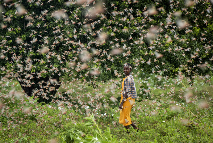A farmer looks back as she walks through swarms of desert locusts feeding on her crops, in Katitika village, Kitui county, Kenya, Friday, Jan. 24, 2020. Desert locusts have swarmed into Kenya by the hundreds of millions from Somalia and Ethiopia, countries that haven't seen such numbers in a quarter-century, destroying farmland and threatening an already vulnerable region. (AP Photo/Ben Curtis)