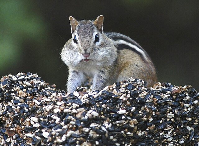 FILE - In this Oct. 6, 2005 file photo, a chipmunk stuffs his mouth with seeds and returns to his nest to store them for winter in Canterbury, N.H. There has been a spike in New England's chipmunk population during the summer of 2020. (Ken Williams/The Concord Monitor via AP, File)