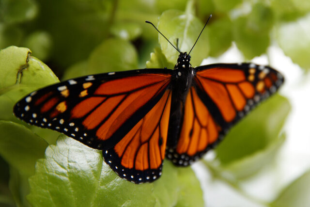 FILE - In this June 2, 2019, file photo, a fresh monarch butterfly rests on a Swedish Ivy plant soon after emerging in Washington. Trump administration officials are expected to say this week whether the monarch butterfly, a colorful and familiar backyard visitor now caught in a global extinction crisis, should receive federal designation as a threatened species. (AP Photo/Carolyn Kaster, File)