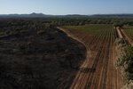 Vineyards charred by a wildfire are pictured at the Chateau des Bertrands vineyard in Cannet-des-Maures, southern France, Thursday, Aug. 26, 2021. Winemakers near the French Riviera are taking stock of the damage after a wildfire blazed through a once picturesque nature reserve near the French Riviera. The blaze left two people dead, more than 20 injured and forced some 10,000 people to be evacuated. (AP Photo/Daniel Cole)