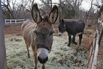 In this Wednesday, Dec. 11, 2019 photo, a bonded pair of donkeys are pictured at Nexus Equine in Edmond, Okla. In partnership with a pilot program run by the American Society for the Prevention of Cruelty to Animals, Nexus Equine works to rescue horses and re-home them, providing care and training before the horses are adopted out. The pilot facility  already has taken in more than 50 animals, mostly horses, but also some donkeys.  (AP Photo/Sue Ogrocki)