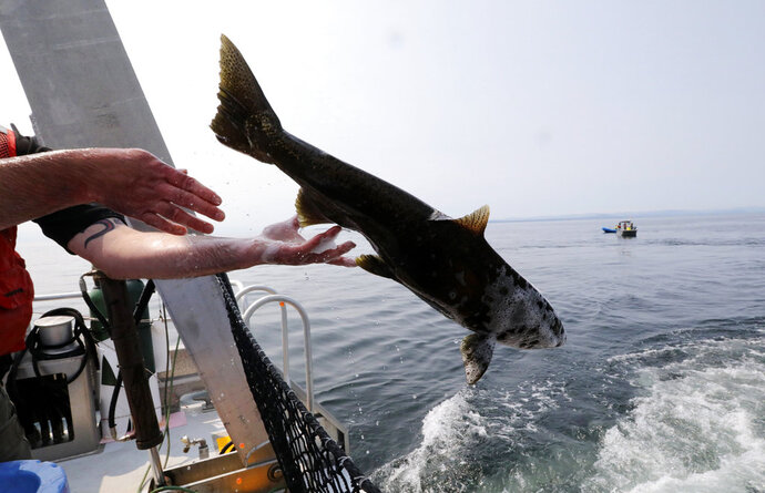 Live chinook salmon aboard the King County Research Vessel SoundGardian are released into waters off San Juan Island, Wash, as a young female orca called J50 was not in the area on Friday Aug. 10, 2018. Experts have done a practice run to work out feeding live fish to the whale off Washington state so they're ready when they get a chance to save the ailing orca. The young female killer whale was too far north in Canadian waters for teams in boats carrying salmon to try to feed the emaciated animal Friday. (Alan Berner/The Seattle Times via AP, Pool)