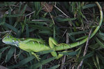 A stunned baby iguana lies in the grass at Cherry Creek Park in Oakland Park, Fla., Wednesday, Jan. 22, 2020. The National Weather Service Miami posted Tuesday on its official Twitter that residents shouldn't be surprised if they see iguanas falling from trees as lows drop into the 30s and 40s. The low temperatures stun the invasive reptiles, but the iguanas won't necessarily die. That means many will wake up as temperatures rise Wednesday. (Joe Cavaretta/South Florida Sun-Sentinel via AP)