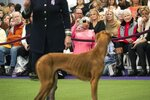 FILE - Retired Philadelphia police officer Aliya Taylor (in pink) observes the Azawakh breed compete at the Westminster Kennel Club Dog Show in New York, in this Sunday, Feb. 9, 2020, file photo. Seeing an Azawakh at the Garden was unusual. Loosely called an African greyhound, they made their debut at Westminster debut last year. Seeing the woman cheering them on was even more eye-catching. Dressed in hot pink and wearing a colorful hijab, Aliya Taylor realized she stood out. (AP Photo/Wong Maye-E, File)