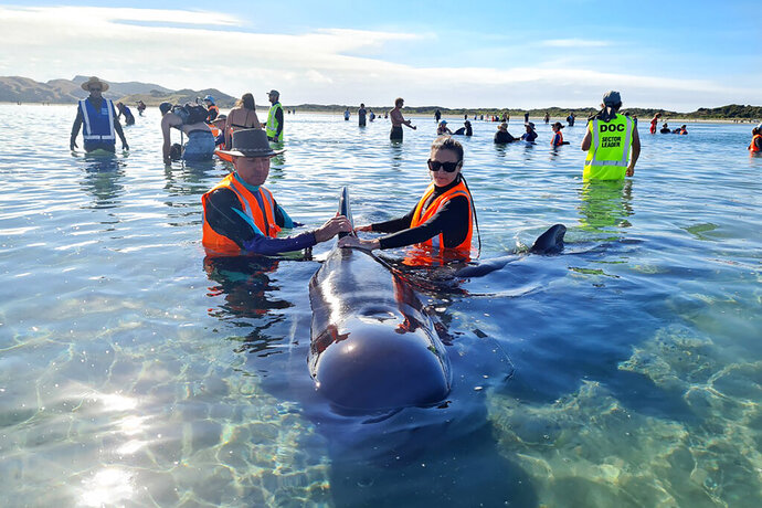In this photo provided by Project Jonah, rescuers work to save pilot whales beached at Farewell Spit at the top of the South Island of New Zealand, Monday, Feb. 22, 2021. Department of Conservation reported that a pod of 49 long-finned pilot whales had beached themselves on Farewell Spit, a remote beach on the South Island that has been the site of many previous whale strandings. (Project Jonah via AP)