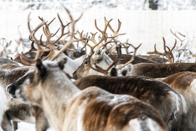 In this Tuesday, Nov. 26, 2019, Reindeer in a temporary corral in Rakten, outside of Jokkmokk, before being transported to winter pastures.  A collaboration between reindeer herders and scientists is attempting to shed light on dramatic weather changes and develop tools to better predict weather events and their impacts.  Unusual weather patterns in Sweden's arctic region seem to be jeopardising the migrating animals' traditional grazing grounds, as rainfall during the winter has led to thick layers of snowy ice that block access to food. (AP Photo/Malin Moberg)