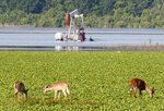 FILE - In this May 18, 2011, file photo, deer feed in a field near a partially-flooded oil derrick in Concordia Parish, La. The state of Mississippi is suing the federal government for at least $25 million, claiming a federal dam complex in Louisiana that keeps the Mississippi River from changing course is harming state land. The suit was filed Monday in the Court of Federal Claims by Mississippi officials on behalf of three school districts. (AP Photo/Patrick Semansky, File)