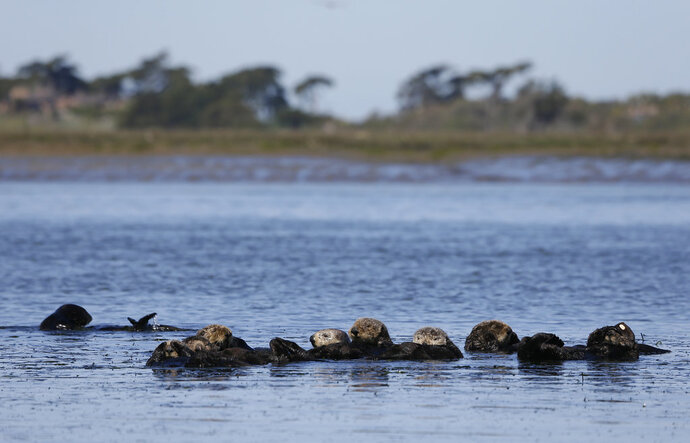 In this photo taken Monday, March 26, 2018, sea otters are seen together along the Elkhorn Slough in Moss Landing, Calif. Along 300 miles of California coastline, including Elkhorn Slough, a wildlife-friendly pocket of tidal salt marsh and rich seagrass in the curve of Monterey Bay, southern sea otters under state and federal protection as a threatened species have rebounded from as few as 50 survivors in the 1930s to more than 3,000 today. (AP Photo/Eric Risberg)