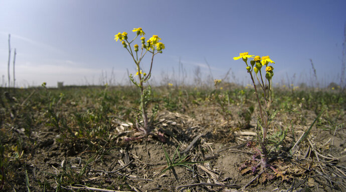 Plants grow on a field in Falkensee, near Berlin, Germany, Tuesday, April 28, 2020. Germany's farmers, foresters, and firefighters are eagerly awaiting widespread rain forecast for this week, as a warm and dry spring has raised fears of a third summer drought in as many years. (AP Photo/Michael Sohn)