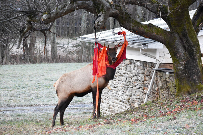 In this Nov. 28, 2019, photo provided by Jim Beaver, an elk stands stuck with a hammock in Beaver's yard in Maggie Valley, N.C. on Thanksgiving. The elk was running around western North Carolina with the shredded hammock on its head, and apparently a love of apples is to blame. The Haywood County Sheriff's Office on Facebook says Cpl. Ken Stiles climbed onto the roof, cut the hammock and freed the animal. Beaver says elks often eat apples in his yard and play with his hammock. (Jim Beaver via AP)