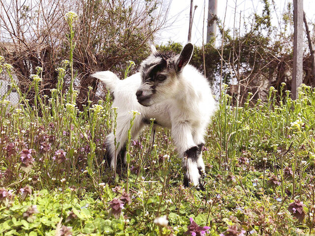 "In this March 19, 2020, photo provided by Henry Scott, shows Ed the baby goat at Filbert Street Garden in Baltimore.  Police in Baltimore say the baby goat stolen from a community garden is back home and unharmed. Police said officers were notified Tuesday, May 19, 2020 that the young Nigerian Dwarf goat named Ed had been ""anonymously returned"" to his owners (Courtesy of Henry Scott via AP)"