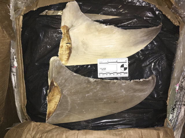 In this Jan. 29, 2020 photo made available by the U.S. Fish and Wildlife Service, confiscated hammerhead shark fins are displayed at the Port of Miami. Federal authorities say they indicted 12 people and seized nearly $8 million in cash, jewels and precious metals after disrupting a criminal enterprise that dealt drugs and sold illegally harvested shark fins to buyers overseas. U.S. Attorney Bobby Christine in Savannah, Georgia, told a news conference Thursday, Sept. 3, 2020 that the U.S. Fish and Wildlife Service uncovered the conspiracy while investigating the illegal practice of cutting the fins off live sharks and dumping them back into the water to die. (U.S. Fish and Wildlife Service via AP)