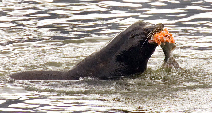 FILE - In this April 24, 2008, file photo, a sea lion eats a salmon in the Columbia River near Bonneville Dam in North Bonneville, Wash. Federal authorities on Friday, Aug. 14, 2020, granted permission for Washington state, Oregon and several Native American tribes to begin killing hundreds of salmon-hungry sea lions in the Columbia River and its tributaries over the next five years. (AP Photo/Don Ryan, File)
