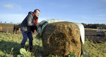 Johnnie Balfour, the managing director of Balbirnie farm in Cupar, Scotland uncovers hay on Tuesday Dec. 3, 2019. Balfour, who family has operated Balbirnie Farm since 1642, is tired of all the back and forth over independence. He remembers that voters were told ahead of the 2014 vote that this was a