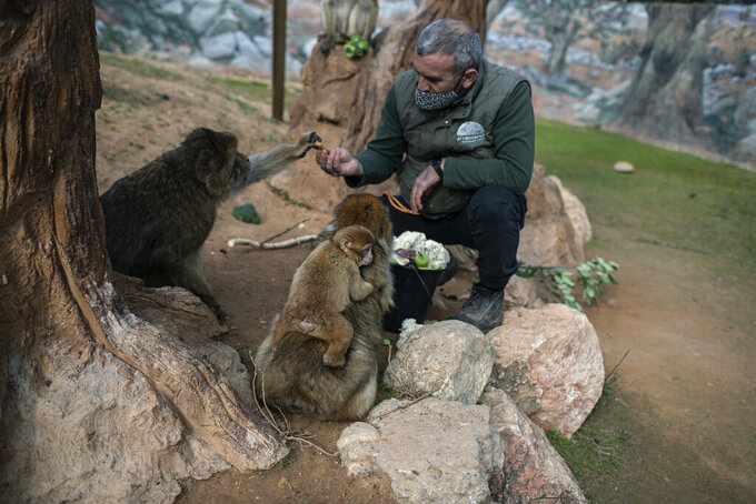 Zoo curator Adonis Balas feeds macaques at the Attica Zoological Park in Spata, near Athens, on Saturday, Jan. 23, 2021. After almost three months of closure due to COVID-19, Greece's only zoo could be approaching extinction: With no paying visitors or state aid big enough for its very particular needs, it still faces huge bills to keep 2,000 animals fed and healthy. (AP Photo/Petros Giannakouris)