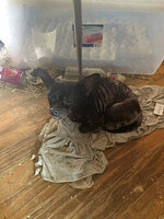 In this Sunday, Oct. 20, 2019 photo made available by the Edgewater Police Department, Fla.,  a small dog living with a family and over 200 other animals lies on the floor of the home in Edgewater, Fla. Police found three children living with animals of various species in deplorable living conditions. Three adults living in the home will be charged with three counts of child abuse and 66 counts of animal cruelty. (Edgewater Police Department via AP)