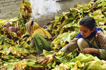 """In this Wednesday, July 25, 2018, photo, Ansa Khan, along with elder sister and neighbors, gather tobacco leaves in Mardan, Pakistan. Since 2012 the United Nations has reserved Oct. 11 as the International day of the Girl Child """"to recognize girls' rights and the unique challenges girls face around the world."""" This year the theme is employable skills for girls, particularly in the poorer economies.(AP Photo/Saba Rehman)"""