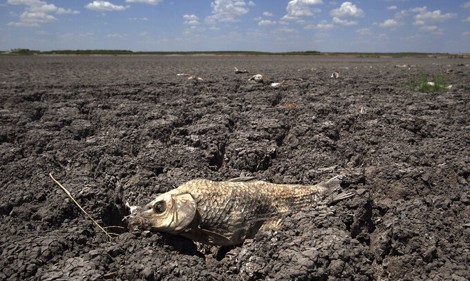 FILE - In this Wednesday, Aug. 3, 2011 file photo, the remains of a carp are seen on the dry lake bed of O.C. Fisher Lake in San Angelo, Texas. According to data released by the National Oceanic and Atmospheric Administration on Tuesday, May 4, 2021, the new United States normal is not just hotter, but wetter in the eastern and central parts of the nation and considerably drier in the West than just a decade earlier. (AP Photo/Tony Gutierrez)