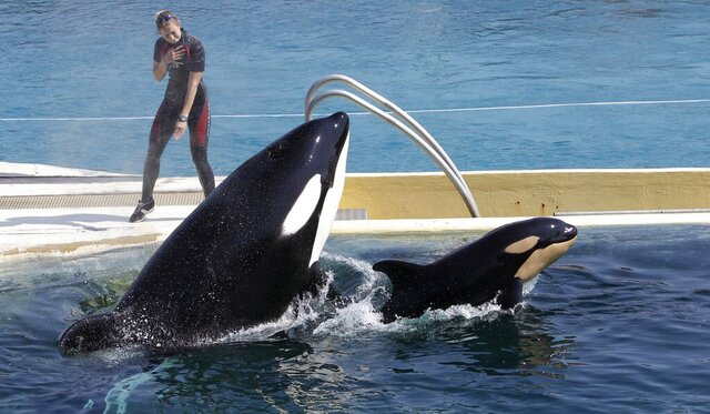 FILE - In this April 18, 2011 file photo, killer whale