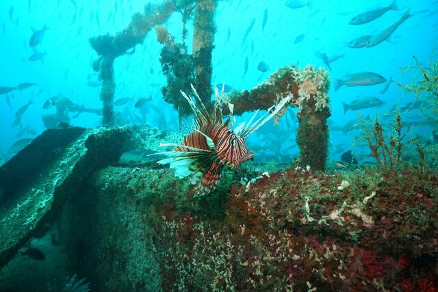 This photo, provided by Alex Fogg, shows a lionfish in April 2019 at an artificial reef off of Destin, Florida. A disease caused open sores on many lionfish in the Gulf of Mexico and Caribbean during 2017 and 2018 and apparently contributed to an abrupt drop in their numbers in the Gulf of Mexico, according to a study published online Tuesday, Feb. 4, 2020, in Scientific Reports. But scientists are quick to note that this is probably far from the end of the showy invasive fish.  (Alex Fogg via AP) .