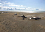 Some dozens of long-finned pilot whales lay dead on a remote beach in Iceland after they were discovered by tourists sightseeing in the Snaefellsnes Peninsula in western Iceland aboard a helicopter, Thursday July 18, 2019.  The whales were concentrated in one spot on the beach, many partially covered by sand. (David Schwarzhans via AP)