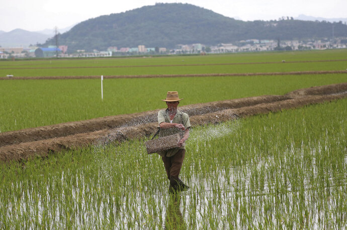 A farmer spreads fertilizer on a rice field in Sariwon, North Korea, Wednesday, June 13, 2018. Away from the political developments that have rocketed their country back into the international headlines, North Korean farmers are preparing for the summer season with hopes the relatively good conditions they have had so far this year will hold out until the fall harvest. (AP Photo/Dita Alangkara)