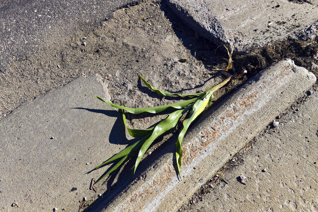 A corn stalk that was growing in a crack along 57th Street is uprooted, Wednesday, Aug. 19, 2020, in Sioux Falls, S.D.. The plant, which now has its own paper tombstone, went viral this week for growing despite the adversity of the surrounding concrete. (Erin Bormett/The Argus Leader via AP)