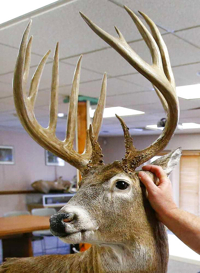This 2015 photo shows a set of trophy antlers of an illegally shot buck that Kansas officials have sold for $16,001 at a controversial closed auction in a state Senator's office Thursday, Jan. 2, 2020. The Topeka Capital-Journal reports that possession of the 14-point rack had prompted legislation and years of wrangling before Thursday's sale. It all started in 2011 when a poacher shot the buck in a rural area south of Topeka and fled with its head. After the Department of Wildlife, Parks and Tourism seized the antlers the next year, land owner Tim Nedeau claimed rights to the rack that was taken from his family's land. Nedeau, outbid a representative of Bass Pro Shops. (Topeka Capitol Journal via AP)