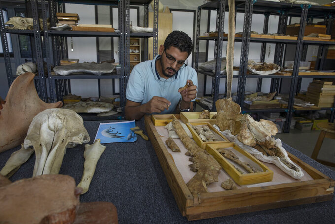 """Egyptian researcher at Mansoura University Abdullah Gohar, shows the fossil of a 43 million-year-old four-legged prehistoric whale known as the """"Phiomicetus Anubis,"""" in an evolution of whales from land to sea, which was unearthed over a decade ago in Fayoum in the Western Desert of Egypt, at the university's paleontology department lab, in the Nile Delta city of Mansoura, 110 kilometers (70 miles) north of Cairo, Egypt, Sunday, Sept. 12, 2021. (AP Photo/Nariman El-Mofty)"""