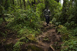 In this Sept. 2, 2019 photo, biologist Jean Paul Hirwa walks down a trail to observe mountain gorillas in the Volcanoes National Park, Rwanda. Hirwa is part of the world's longest-running gorilla study _ a project begun in 1967 by famed American primatologist Dian Fossey. Yet Fossey herself, who died in 1985, would likely be surprised any mountain gorillas are left to study. Alarmed by rising rates of poaching and deforestation in central Africa, she predicted the species could go extinct by 2000. (AP Photo/Felipe Dana)