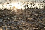 Dead fish lie on the shores of Koroneia Lake in northern Greece, on Thursday, Sept. 19, 2019. Thousands of freshwater fish have been found dead at Lake Koroneia, outside the northern Greek city of Thessaloiniki, after the water level fell sharply due to a drought in the region. (AP Photo/Giannis Papanikos)
