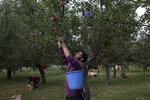 In this Sunday, Oct. 6, 2019, photo, Kashmiri farmer Sheeraz Ahmad plucks apples in his neighbor's orchard in Wuyan, south of Srinagar Indian controlled Kashmir. The apple trade, worth $1.6 billion in exports in 2017, accounts for nearly a fifth of Kashmir's economy and provides livelihoods for 3.3 million. This year, less than 10% of the harvested apples had left the region by Oct. 6. Losses are mounting as insurgent groups pressure pickers, traders and drivers to shun the industry to protest an Indian government crackdown. The despair trickles down to unskilled workers like 22-year-old Ahmad, who was counting on 45 days of work to earn more than $400 to help support his family. So far, he's only gotten five days of work. (AP Photo/Dar Yasin)