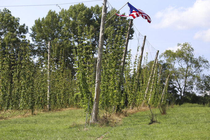 The hop plants are shown at Knob View Hops in Floyds Knobs, Ind., Wednesday, Aug. 11, 2021, that will soon be harvested. They will later be dried and packaged to be used in craft beer. (Brooke McAfee/News and Tribune via AP)
