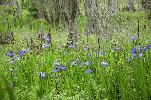 This photo, provided by Paul Christiansen, shows Louisiana blue iris, Louisiana's state flower, near the boardwalk at at the Jean Lafitte Wetland Trace on April 7, 2020. The Louisiana Iris Conservation Initiative is iris rescuing Louisiana iris from areas slated for development and planting them at nature preserves.  (Paul Christiansen via AP)
