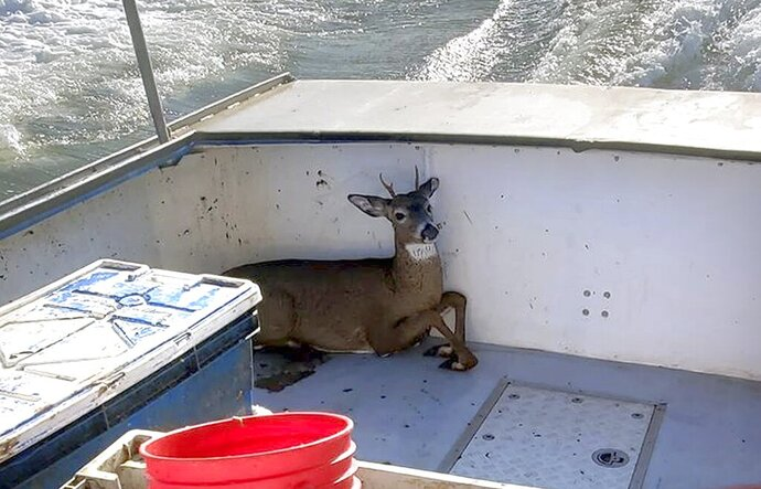 In this Monday, Nov. 4, 2019, photo provided by Jared Thaxter, a deer that was rescued from the ocean five miles off shore from Harrington, Maine, rests in a boat on its way back to shore. Lobsterman Ren Dorr and his crew saw the 100-pound buck bobbing in the water, hauled it aboard and returned to shore where the deer was released in Harrington. (Jared Thaxter via AP)