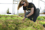In this Friday, May 15, 2020 photo, Alexa Garro examines the lettuce crop grown at Garro Farms' aquaponic greenhouse in Nisland, S.D. (Lacey Peterson/Black Hills Pioneer via AP)