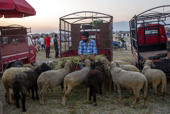 A Kashmiri Muslim livestock vendor feeds his flock of sheep as he waits for customers at a market ahead of the Muslim festival of Eid al-Adha in Srinagar, Indian controlled Kashmir, Friday, July 16, 2021. Authorities in Indian-controlled Kashmir on Friday said there is no ban on the sacrifice of animals during the upcoming Islamic Eid al-Adha holiday, a day after the government asked law enforcers to stop the sacrifice of cows, calves, camels and other animals. (AP Photo/Dar Yasin)