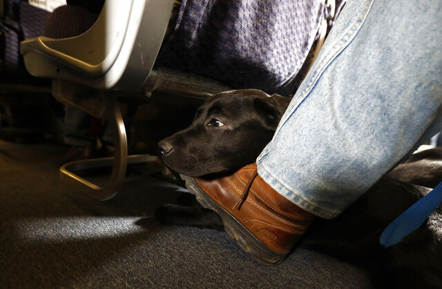 FILE - In this April 1, 2017, file photo, a service dog named Orlando rests on the foot of its trainer, John Reddan, while sitting inside a United Airlines plane at Newark Liberty International Airport during a training exercise in Newark, N.J. The Transportation Department issued a final rule Wednesday, Dec. 2, 2020, covering service animals. The rule says only dogs can qualify, and they have to be specially trained to help a person with disabilities. For years, some travelers have been bringing untrained dogs and all kinds of other animals on board by claiming they need the animal for emotional support.(AP Photo/Julio Cortez, File)