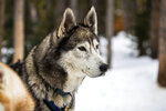The sled dogs of Good Times Adventures in Breckenridge, Colo. wait to run the trails off Tiger Road on Thursday, Jan. 16, 2020, (Liz Copan/Summit Daily News via AP)