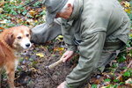 In this photo taken on Sunday, Nov. 10, 2019, Carlo Olivero digs on the spot where his 3-year-old dog Steel indicated the aroma of a prized white truffle, in Alba, Italy. Olivero has been hunting truffles for more than 40 years, and worries about climate change and the transition of wooded land to vineyards and orchards will impoverish future truffle production. (AP Photo/Martino Masotto)