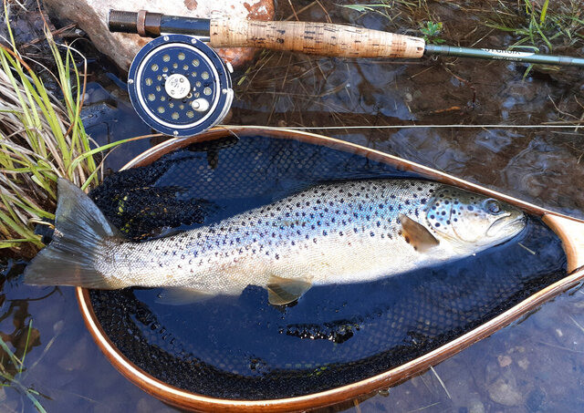 This May 6, 2020, photo, shows a wild brown trout taken on a dry fly from a Catskills river outside Roscoe, N.Y. Fishing shops in Roscoe that should be overflowing with anglers are empty, due to the coronavirus outbreak. (AP Photo/Rob Jagodzinski)