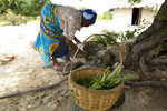 In this Thursday, Feb. 20, 2020, a basket of pigweed and okra leaves found growing among a faltering millet crop are photographed as Leah Tsiga prepares a meal, in Mudzi about 230 Kilometers, northeast of the Zimbabwean capital Harare. Living alone in Zimbabwe's arid Mudzi district, Leah Tsiga's best friend is her cat. But when it comes to food, each has to look for their own and the 90-year-old Tsiga often comes second best. The crafty feline forages in nearby bushes for rats, birds, insects and worms. As for the frail Tsiga, she sometimes goes for days without a solid meal, as Zimbabwe is ravaged by a combination of drought and deepening economic crisis. (AP Photo/Tsvangirayi Mukwazhi)