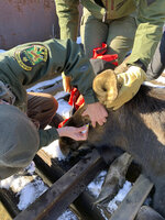In this Wednesday, Jan. 22, 2020 photo provided by the Vermont Fish and Wildlife Department local game wardens and wildlife biologists sedate a moose that was on railroad tracks in Ludlow, Vt. A moose that was stuck on an active railroad bridge in Vermont was removed and relocated with minimal injuries, according to state fish and wildlife officials.  (Warden Kyle Isherwood/Vermont Fish and Wildlife Department  via AP)